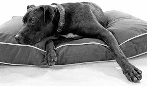 Thanos experiencing lyme disease joint pain, one of the symptoms of lyme disease in dogs