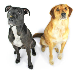 Thanos and Loki. Dogs with treats on their noses. Dogs waiting for treats. Know what ingredients are in your pet's food.