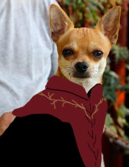 Suspicious chihuahua; dog version of Tyrion Lannister from Game of Thrones