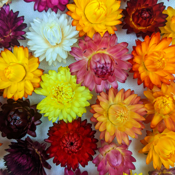 Dried Strawflower Heads for Crafts