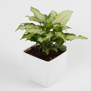 Mini Syngonium - Kraftsdecor