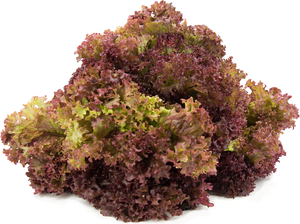 Lettuce Lollo Rosa Red Improved Quality English Vegetable Seeds