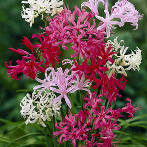 Nerine Lily (Mixed Color) - Bulbs (Set of 10)