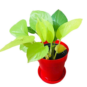 Money Plant-Table Top - Kraftsdecor