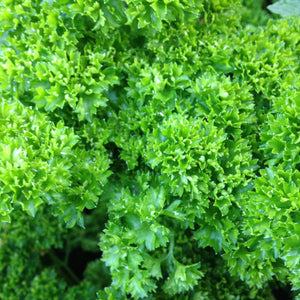 Parsley Moss Curled English Vegetable Seeds