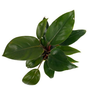 Philodendron-Red - Kraftsdecor