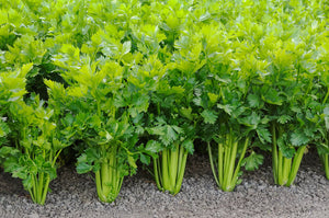 Celery English Vegetable Improved Seeds