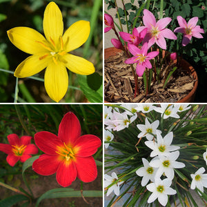 Zephyranthes Lily, Rain Lily (Mixed color) - Bulbs