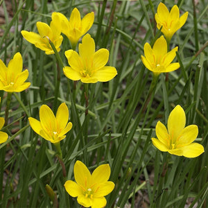 Zephyranthes Lily, Rain Lily (Yellow) - Bulbs (set of 10)