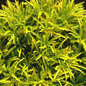 Aralia Golden Plant