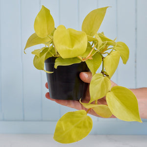 Philodendron Lemon Lime