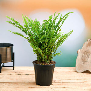 Boston Fern - Kraftsdecor