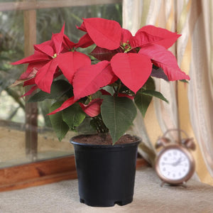 Poinsettia Plant Red