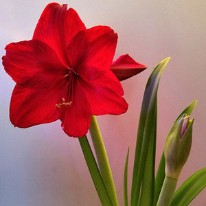 Amaryllis Red  bulbs (set of 10)