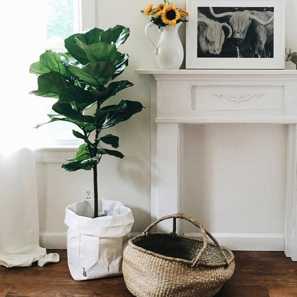 Modern living room with a large plant in a paper sac