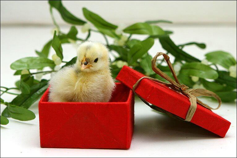 Awesome gifts for a chicken lover