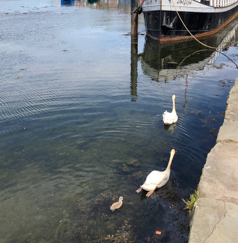 Swans with their cygnet