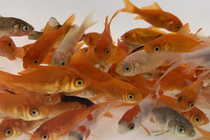 Feeder Goldfish