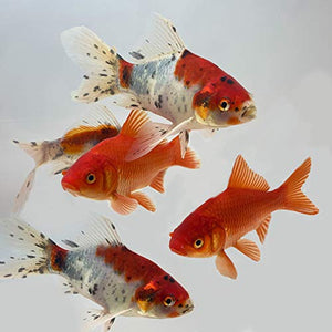 Goldfish Pond Pack #3 (Includes Shubunkins & Comets)