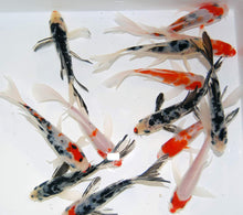 Load image into Gallery viewer, Butterfly Fin Koi