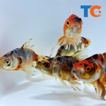 Load image into Gallery viewer, Calico Fantail Goldfish