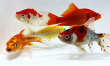 Load image into Gallery viewer, Koi & Goldfish Combo Pack