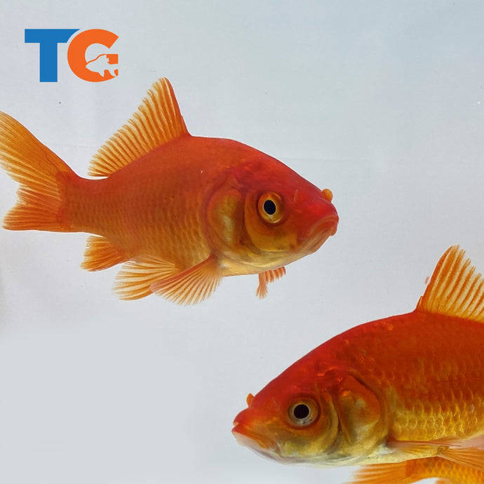 Live Comet Goldfish For Sale | Free Shipping | Live Arrival Guarantee