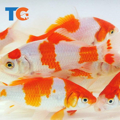 Sarasa Comet Goldfish For Sale | FREE SHIPPING | Live Arrival Guarantee