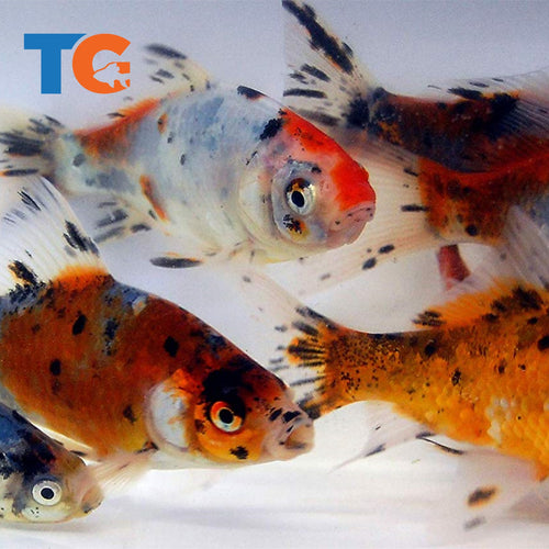 Shubunkin Goldfish For Sale | FREE SHIPPING | Live Arrival Guarantee