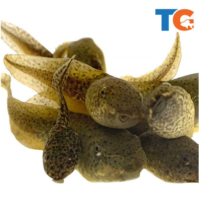 Live Bullfrog Tadpoles | Free Shipping | Live Arrival Guarantee