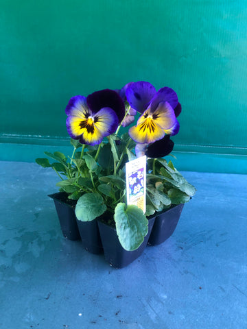 Pansy 6-Pack