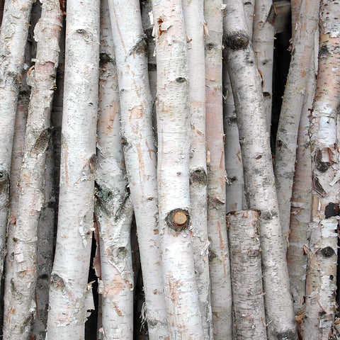White Paper Birch Bunched Poles