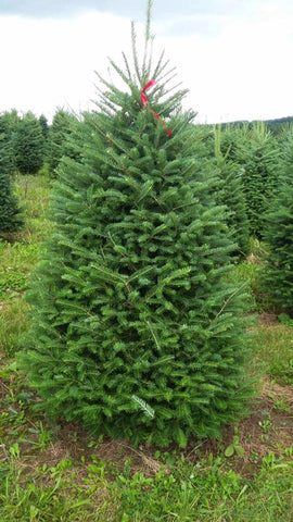 Balsam Fir Christmas Tree - Multiple Sizes