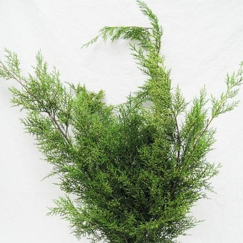 Gold Tipped Cedar Bunched Greens
