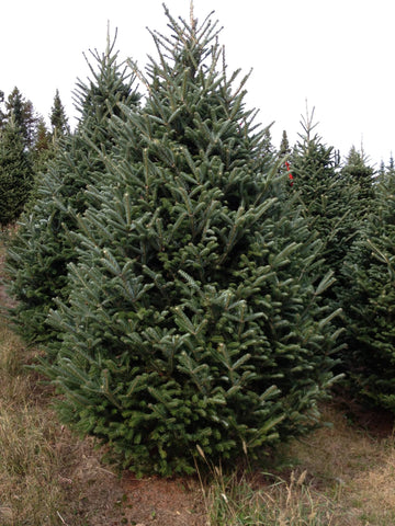 Fraser Fir Christmas Tree - Multiple Sizes