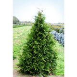 Thuja -  Green Giant Arborvitae 3 gallon pot