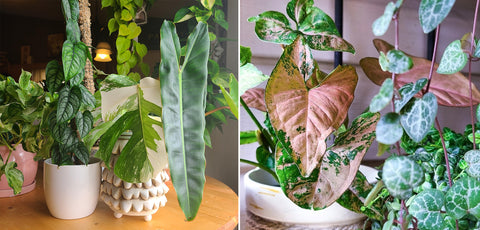 GROW INSPIRED: ADVICE FROM A 'GREEN THUMB' HOUSEPLANT COLLECTOR