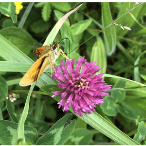 Butterfly and bee seed mix: Wild red clover