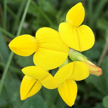 Load image into Gallery viewer, Birdsfoot trefoil: Special meadow mix