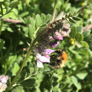 Bee seed mix: Bush vetch