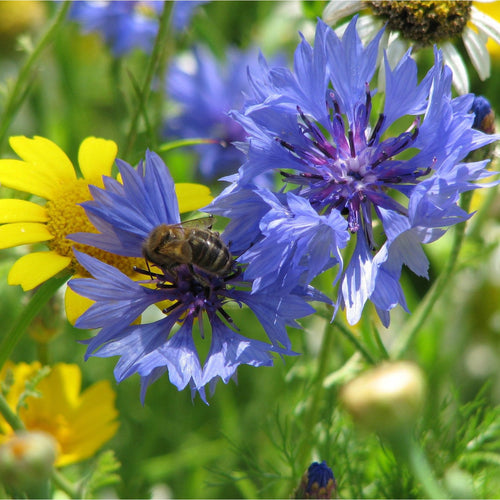 Cornflowers with honeybee