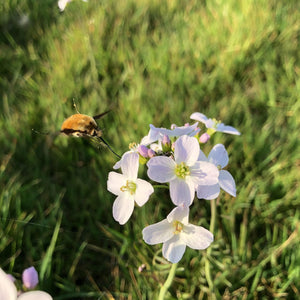 Cuckoo flower and Bee-fly
