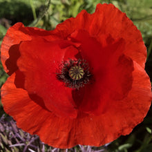 Load image into Gallery viewer, Field poppy: : Special meadow mix
