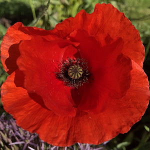 Field poppy: : Special meadow mix