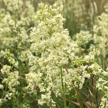 Load image into Gallery viewer, Hedge bedstraw: Special meadow mix