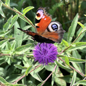Butterfly and Moth Seed Mix
