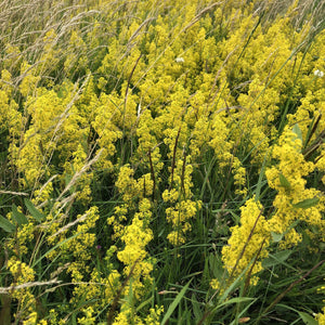 Lady's bedstraw: Special meadow mix
