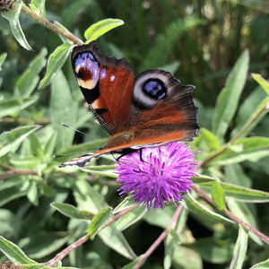 Lesser knapweed: Special meadow mix
