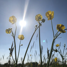 Load image into Gallery viewer, Meadow buttercup: Special meadow mix