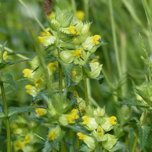 Yellow Rattle Rhinanthus minor